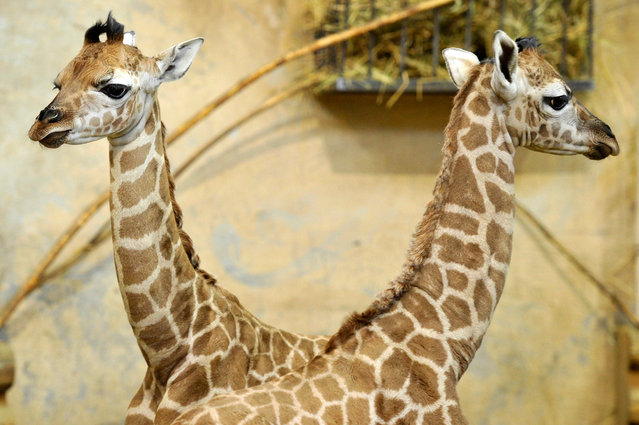 Giraffe calves seen in the Savannah House of Budapest Zoo in Budapest, Hungary, 23 February 2017. The zoo currently boasts nine giraffes, the latest a calf named Sauda, born on the first of January, shortly followed by the birth of twins on 15 February. (Photo by Attila Kovacs/EPA)