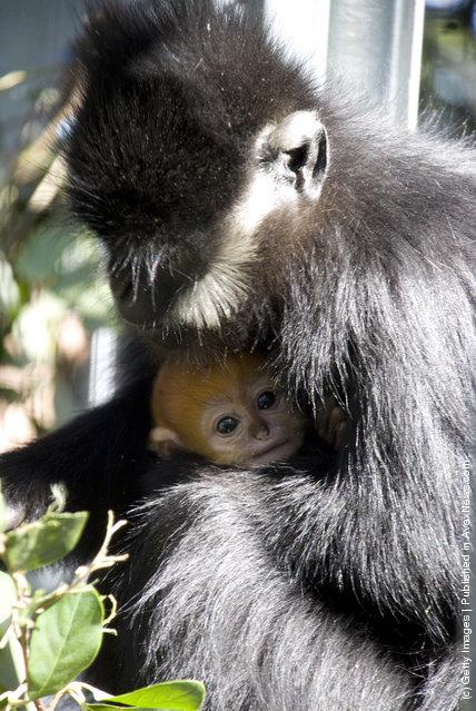 Baby Francois' Langur