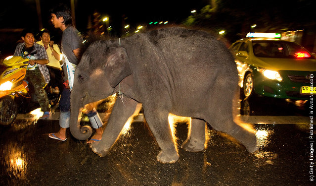 Urban Elephants Roam The Streets of Bangkok