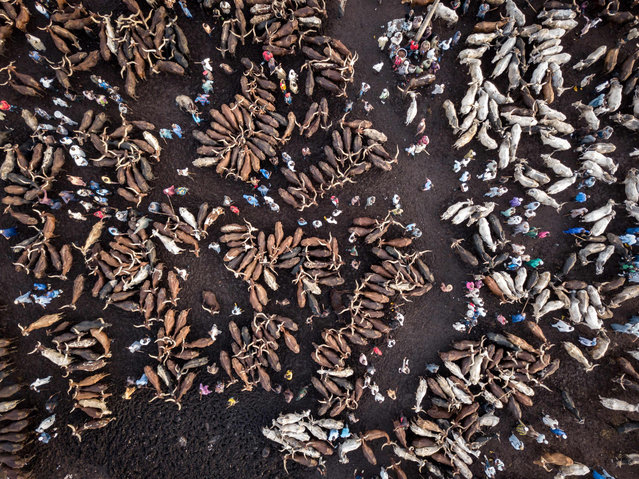 Aerial view of herdsmen with their cows waiting for buyers at Kara Cattle Market in Lagos, Nigeria, on April 10, 2019. Kara cattle market in Agege, Lagos is one of the largest of West Africa receiving thousands of cows weekly due to the massive consumption of meat in Lagos area. (Photo by Florian Plaucheur/AFP Photo)