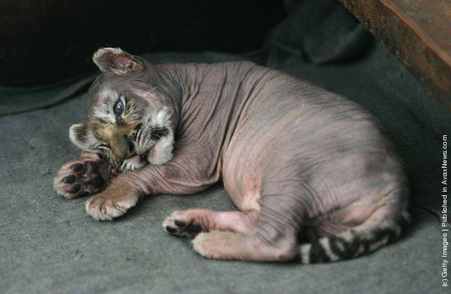 A Siberian tiger cub