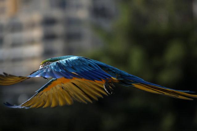 A macaw flies in Caracas, Venezuela, June 12, 2019. (Photo by Manaure Quintero/Reuters)
