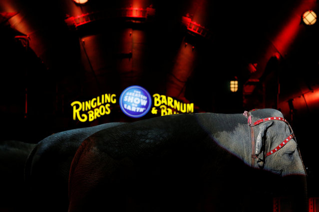 """An elephant pauses during a performance in Ringling Bros and Barnum & Bailey Circus' """"Circus Extreme"""" show at the Mohegan Sun Arena at Casey Plaza in Wilkes-Barre, Pennsylvania, U.S., April 29, 2016. (Photo by Andrew Kelly/Reuters)"""