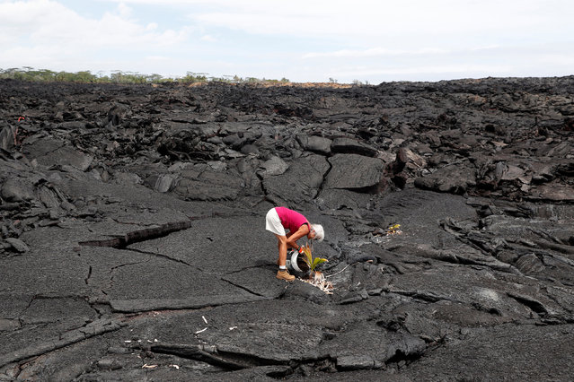 Diane Cohen, 64, who was forced to leave her home when the Kilauea Volcano erupted and covered it with lava last summer, plants a coconut tree on her property in Kapoho, in Hawaii, U.S., April 1, 2019. (Photo by Terray Sylvester/Reuters)