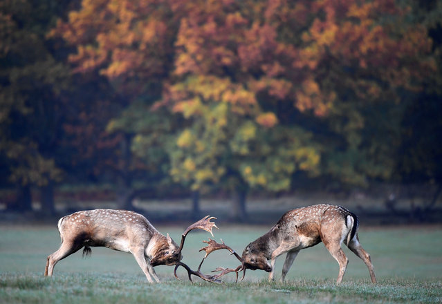 Deer clash as they fight during the rutting season in Richmond Park, west London, Britain, October 27, 2019. (Photo by Toby Melville/Reuters)