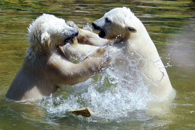 Two six month-old polar bears play in the water during warm and sunny weather in their enclosure at the Hellabrunn zoo in Munich, southern Germany, Thursday, June 12, 2014. (Photo by Rebecca Krizak/AP Photo/DPA)