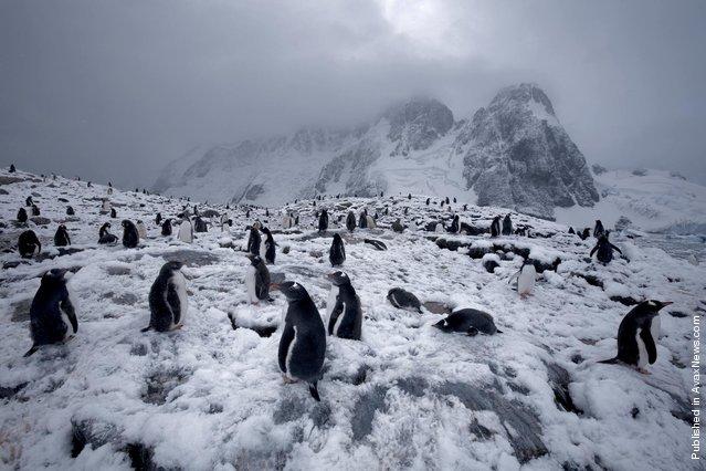 Papuanskie Penguins. Port Lockroy, The Antarctic Peninsula