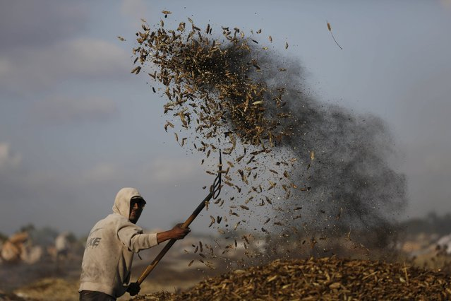 A Palestinian worker rakes wheat after burning it as part of the process to make frike, in the West Bank city of Jenin May 10, 2015. (Photo by Mohamad Torokman/Reuters)