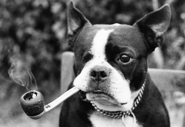 """This is Devon's only pipe-smoking dog, 8-year-old American bull terrier named Butch, shown August 10, 1974. For the past five years Butch has smoked a daily tobacco pipe. His owner Jean Morel, 52, of Greenclose, Exmouth, Devon, who is disabled, said """"Butch is a real pal to me and he started smoking five years ago.  He used to pinch my pipe so I decided to give him one of his own"""". Butch also sports only one eye, he lost his right eye in a battle with a neighbor's dog. (Photo by AP Photo)"""
