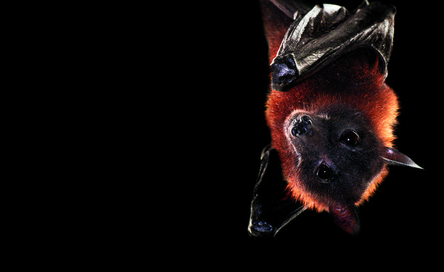 The Indian flying fox, one of more than 1,100 species of bats, is also known as the giant fruit bat. Like vampire bats and most other bat species, the Indian flying fox is nocturnal. But unlike vampires, this species doesn't lap up blood. Instead, it feeds on fruit and tree flowers. (Photo by Traer Scott/Chronicle Books)