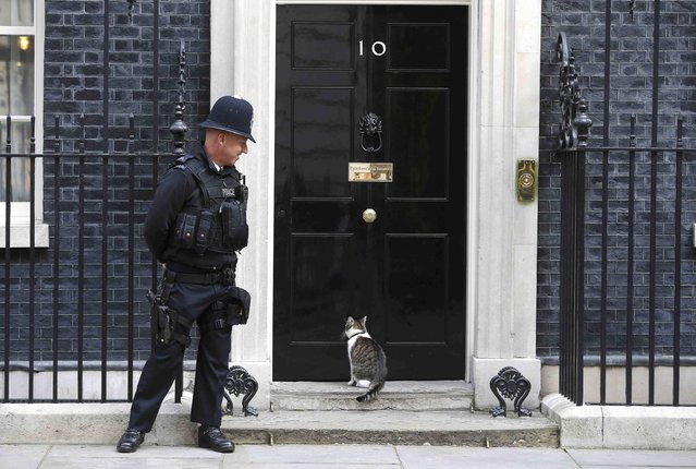 Larry the Downing street cat waits to enter number 10, London, Britain August 23, 2015. Britain's Prime Minister, David Cameron will address to Parliament regarding the migrant crisis in Europe larter on today. (Photo by Peter Nicholls/Reuters)
