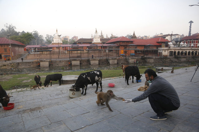 In this Tuesday, March 31, 2020, photo, a Nepalese volunteer feeds monkeys at Pashupatinath temple, the country's most revered Hindu temple, during the lockdown in Kathmandu, Nepal. (Photo by Niranjan Shrestha/AP Photo)