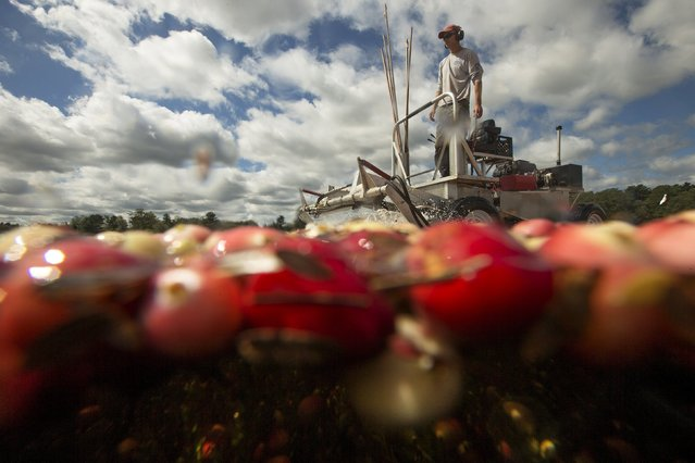 Cass Gilmore harvests cranberries in a bog at Gilmore Cranberry Company in Carver, Massachusetts September 14, 2015, the beginning of the cranberry harvesting season. (Photo by Brian Snyder/Reuters)