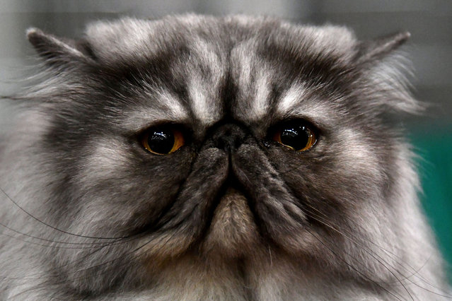 """A Persian cat is pictured during the """"SuperCat Show 2017"""" on November 11, 2017 in Rome, Italy. (Photo by Alberto Pizzoli/AFP Photo)"""