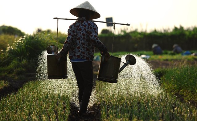 This picture taken on September 29, 2014 shows a farmer watering a vegetable field in Khoai Chau district, northern province of Hung Yen. The use of chemical fertilizer and pesticide by farmers in growing vegetables is not well controled in Vietnam causing fear from customers about vegetable quality on sale in local market. (Photo by Hoang Dinh Nam/AFP Photo)