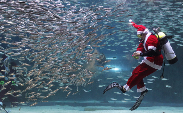 A South Korean diver clad in Santa Claus costume swims with sardines at The Coex Aquarium on December 8, 2012 in Seoul, South Korea. Even though the official religion of South Korea is Buddhism, about 30 percent of it is Christian and Christmas is one of the biggest holidays to be celebrated in South Korea.  (Photo by Chung Sung-Jun)