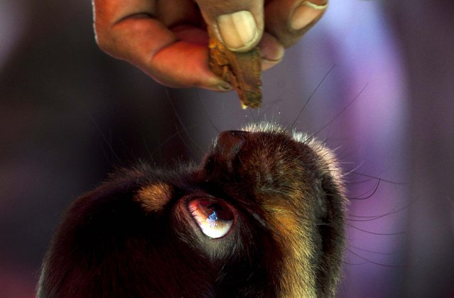 A dog is offered food before competing in the Fall Canine Expo in Havana, Cuba, on November 22, 2012. (Photo by Ramon Espinosa/AP)