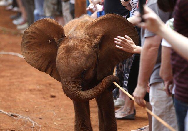 An orphaned baby elephant walks near visitors at the David Sheldrick Elephant Orphanage within the Nairobi National Park, near Kenya's capital Nairobi October 15, 2014. (Photo by Goran Tomasevic/Reuters)