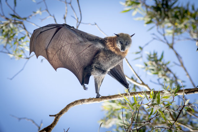 """Gravity"". Bats are a much maligned creature these days. They are responsible for the spread of emerging diseases such as Ebola, Hendra virus and Lyssavirus all of which are extremely deadly to humans. Photo location: Brisbane, Queensland, Australia. (Photo and caption by Karen Lunney/National Geographic Photo Contest)"