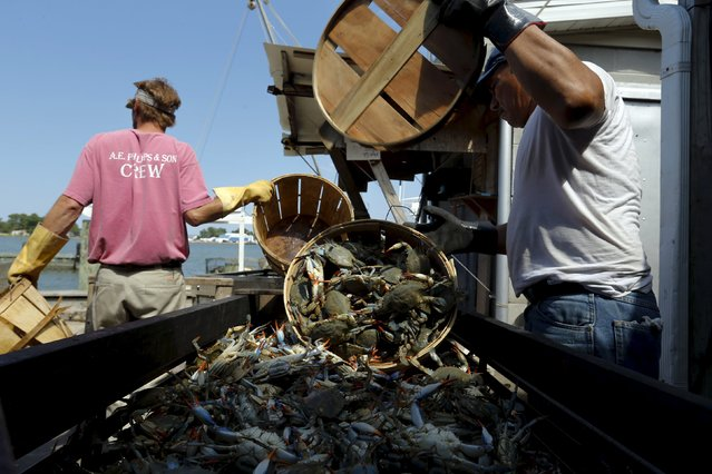 Workers unload bushel baskets of live blue crabs into a large carriage before pressure steaming them at the A.E. Phillips & Son Inc. crab picking house on Hooper's Island in Fishing Creek, Maryland August 26, 2015. (Photo by Jonathan Ernst/Reuters)