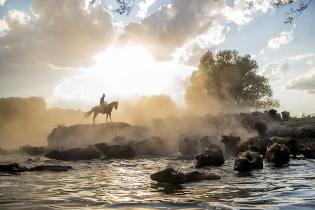 A man on a horse watches water buffalos cooling off in water at the end of the day in Hurmetci wetland reeds in Kayseri, Turkey on August 22, 2020. Approximately 800 water buffalos are found in the area. (Photo by Sercan Kucuksahin/Anadolu Agency via Getty Images)