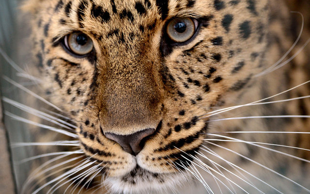 Amur leopard Xembalo looks through the bars of its enclosure at the Zoo in Leipzig, Germany, Wednesday April 3, 2013. (Photo by Hendrik Schmidt/AFP Photo/Dpa)