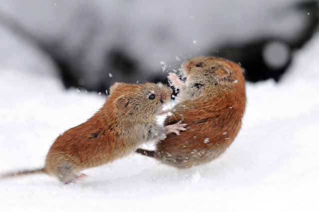 Captured at high speeds, this is the moment two voles were spotted squabbling for shelter. Unwilling to share the space between them, the enraged rodents were seen tumbling in the snow entwined in bitter dispute over territory. After struggling to find warmth in the frozen fields of Hokkaido Island, Japan, both mouse-like creatures were on the lookout for a dry place to stay. (Photo by Masatsugu Ohashi/Caters News)