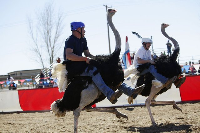 Dustin Murley (L) and Jessey Sisson race on their ostriches during the annual Ostrich Festival in Chandler, Arizona March 10, 2013. (Photo by Joshua Lott/Reuters)