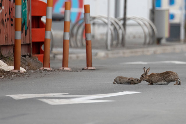 A baby rabbit and its mother leveret sharing an intimate moment middle of a main road which is empty of traffic in Christchurch, New Zealand, on April 01, 2020. New Zealand has been lockdown for four weeks in an attempt to minimize the spread of the Covid-19 virus since the 25th of March. There are currently 708 cases of COVID-19 in New Zealand and one person died as a result of the virus. (Photo by Sanka Vidanagama/NurPhoto via Getty Images)