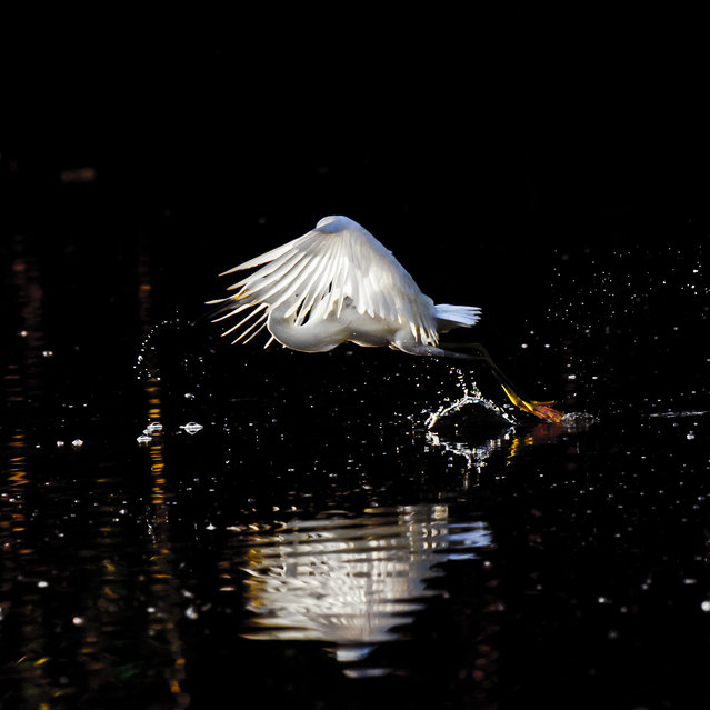 """First Flight"". I captured this Snowy Egret at first light in a remote pond in the Everglades. Location: Evergaldes Nationl Park. (Photo and caption by Sandy Flint/National Geographic Traveler Photo Contest)"