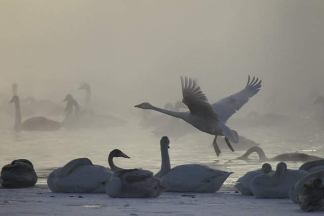 Swans gather on a partially ice-covered lake, with the air temperature at about minus 35 degrees Celsius (minus 31 degrees Fahrenheit) as steam ascends above the water near the village of Urozhainy, Sovetsky district of Altai region, January 26, 2015. (Photo by Andrei Kasprishin/Reuters)