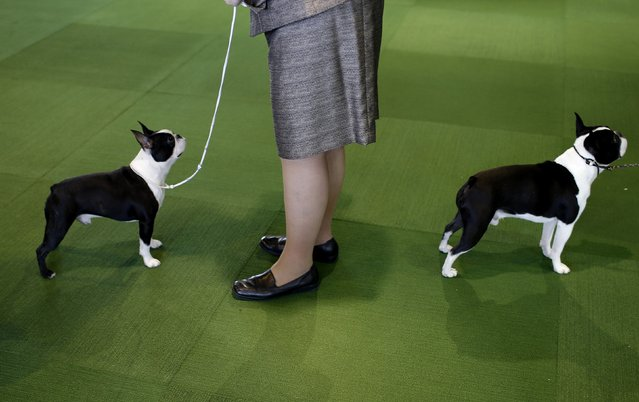 Boston Terriers stand in the ring during judging in the non-sporting group during day one of competition at the 139th Westminster Kennel Club's Dog Show in the Manhattan borough of New York February 16, 2015. (Photo by Mike Segar/Reuters)