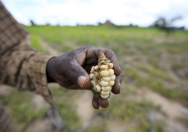 A Zimbabwean subsistence farmer holds a stunted maize cob in his field outside Harare, January 20, 2016. About 14 million people face hunger in Southern Africa because of a drought that has been exacerbated by an El Nino weather pattern, the United Nations World Food Programme (WFP) said on Monday. In Zimbabwe, 1.5 million people, more than 10 percent of the population, face hunger, WFP said. (Photo by Philimon Bulawayo/Reuters)