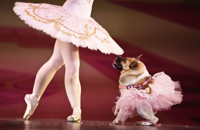 "The Sugar Plum Fairy, Katherine Free, left, dances with the dog, Pig, during the Birmingham's Ballet ""Mutt-cracker"", a rendition of the famous ballet ""The Nutcracker"", in Birmingham, Alabama, December 8, 2016. (Photo by Brynn Anderson/AP Photo)"
