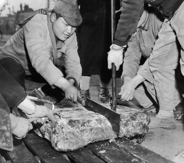 Frozen whale meat is cut into slabs for packing, at the Tokyo fishing wharves, January 27, 1948, after the whaler unloads its cargo from the Antarctic. (Photo by AP Photo)