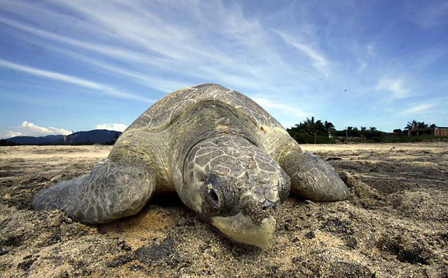 An Olive Ridley sea turtle (Lepidochelys olivacea) arrives to spawn during a nesting at Ixtapilla beach, in Aquila municipality on the Pacific coast of Michoacan State, Mexico, on Octuber 13, 2013. According to the residents of the area, more than 1000 turtles are expected to arrive in the area daily this season. (Photo by Hector Guerrero/AFP Photo)