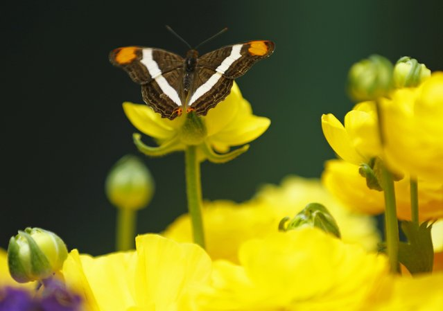 A Mexican Sister butterfly lands on a flower as it and hundreds of other butterflies from around the world fill the bird aviary for the next month at the San Diego Zoo Safari Park in San Diego, California March 13, 2015. (Photo by Mike Blake/Reuters)