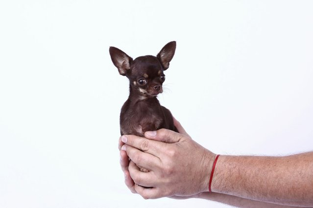 Milly, a female Chihuahua from Puerto Rico, who has made it to the Guinness Book of World Records as the worlds smallest dog, measuring just 9.65 cm (3.8 inches) tall. (Photo by PA Wire)