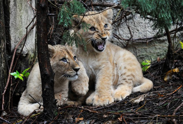 Two male Barbary lion cubs Terry, left, and Basty, right, are pictured for the first time in their free run at the Zoo in Olomouc, Czech Republic, Thursday, November 7, 2013. The cubs were born on August 11. 2013. At the Olomouc Zoo 19 cubs were born since 1995. It is the only one in the Czech Republic where these lions breed. (Photo by Ludek Perina/AP Photos/CTK)