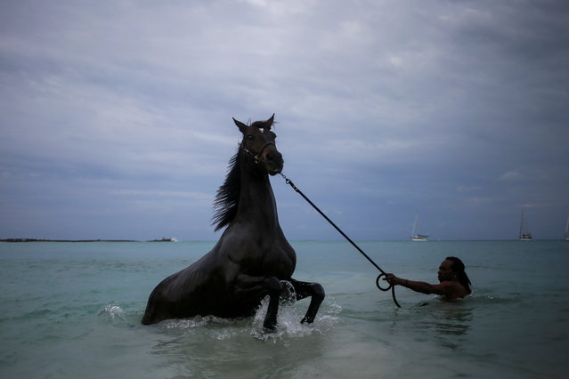 BARBADOS: A handler baths a horse from the Garrison Savannah in the Caribbean Sea near Bridgetown, Barbados November 30, 2016. (Photo by Adrees Latif/Reuters)