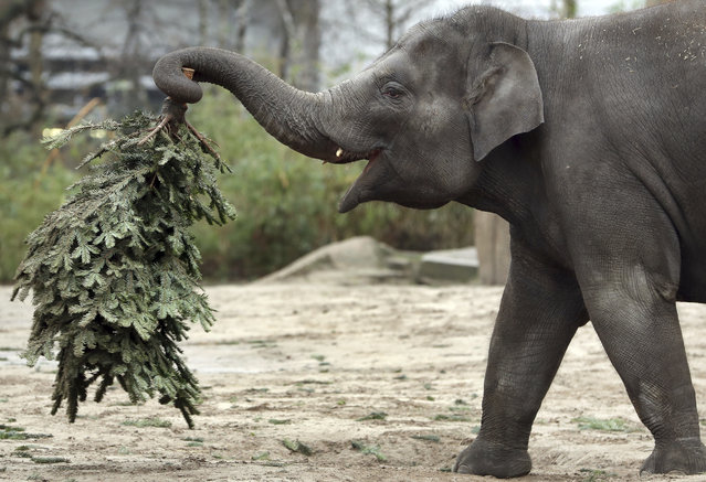 Elephant 'Anchali' lifts a Christmas tree at its enclosure at the zoo in Berlin, Germany, January 2, 2018. Every year discarded Christmas trees are offered to the elephants as a snack. (Photo by Michael Sohn/AP Photo)