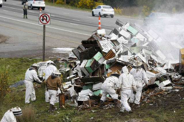 Beekeepers attend to a semi-trailer truck that overturned with a cargo of bees on a highway in Lynnwood, Washington April 17, 2015. (Photo by Ian Terry/Reuters)