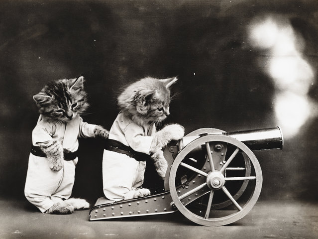 Photograph shows two kittens wearing clothes firing a cannon, 1914. (Photo by Harry Whittier Frees/Library of Congress)
