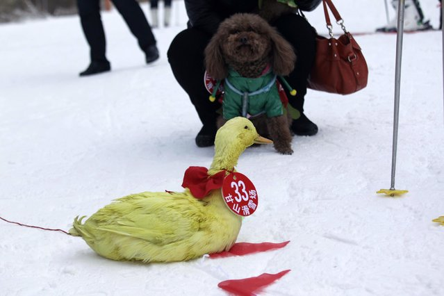 This picture taken on January 12, 2014 showsa duck and a dog in a skiing competition in Sanmenxia, north China's Henan province. (Photo by AFP Photo)