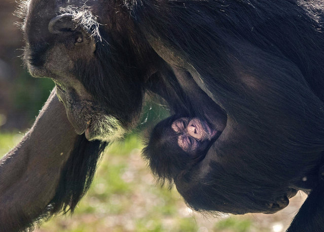 This photo provided by the North Carolina Zoo shows a newborn chimpanzee with its mother, Gerre, a few hours after its birth at the facility in Asheboro, N.C., Monday, March 18, 2019. (Photo by Diane Villa/North Carolina Zoo via AP Photo)