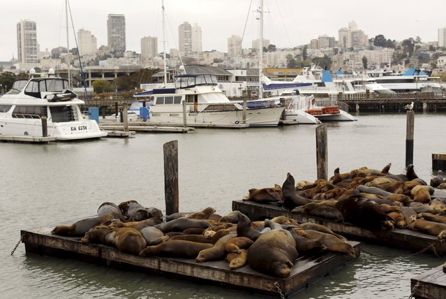 Sea lions gather on floating docks at Pier 39 in San Francisco, California May 4, 2015. (Photo by Robert Galbraith/Reuters)