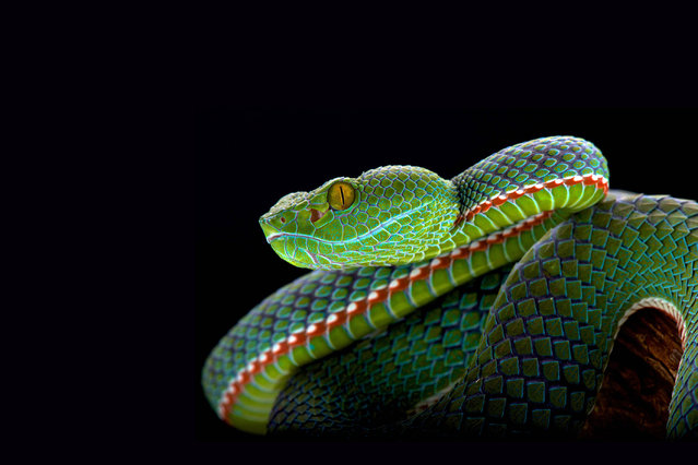 Siamese peninsula pit viper (Popeia fucata). (Photo by Matthijs Kuijpers/The Guardian)