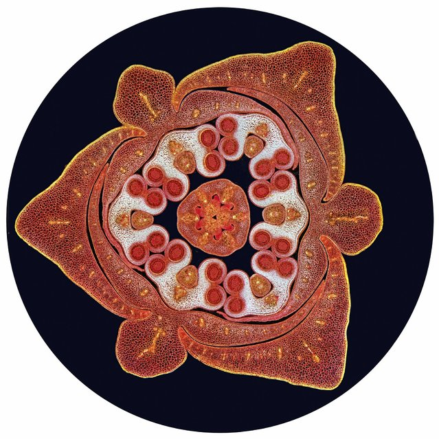 Transverse section through a stained lilium bud (Liliaceae) showing the male and female reproductive organs. At the centre of the image is the pistil, the female part of the flower which contains ovules housed in an ovary. This is surrounded by 6 male anthers (white) each containing 4 pollen sacs (red circles) which will be filled with pollen grains. Around the outside of these are 3 petals and 3 sepals. Viewed with a light microscope using dark ground illumination. Horizontal field width is 10 mm. (Photo by Spike Walker/Wellcome Images)