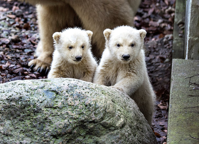 Polar bear cubs come out accompanied by their mother in Aalborg Zoo in Aalborg, Denmark February 22, 2017. (Photo by Henning Bagger/Reuters/Scanpix Denmark)