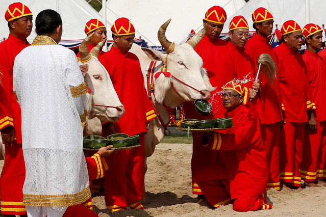 Thai officials dressed in traditional costumes feed oxen during the annual royal ploughing ceremony  in central Bangkok, Thailand, May 9, 2016. (Photo by Athit Perawongmetha/Reuters)